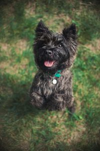 Cute Cairn Terrier dog, portrait close, summer