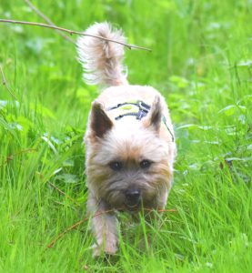 cute cairn terrier dog running through long grass